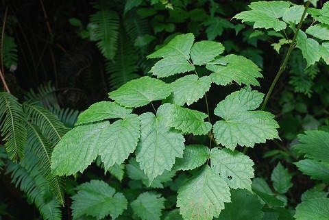 トリアシショウマの葉は