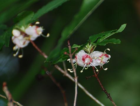 バイカツツジの花がきれい