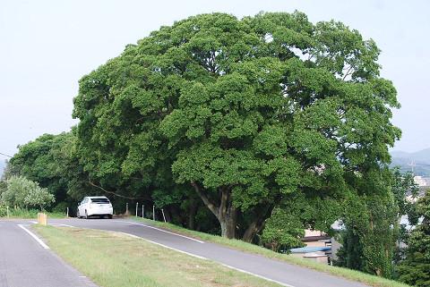 エノキの巨木が