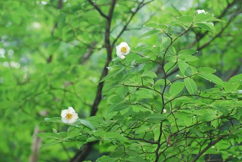 ナツツバキの花が1