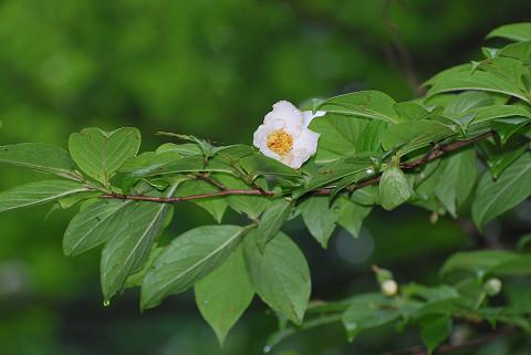 ナツツバキの花が2