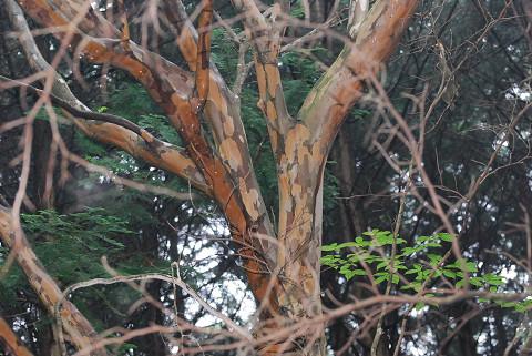 ナツツバキの木肌が