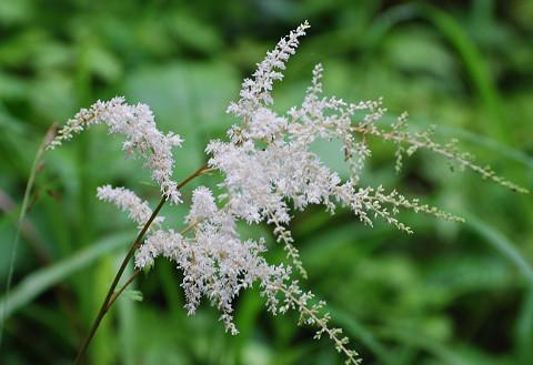トリアシショウマの花は