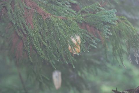 モリアオガエルの卵塊が