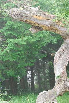 枯れた松の巨木2