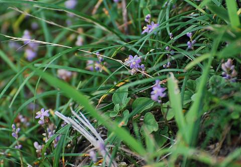 ジャノヒゲの花が