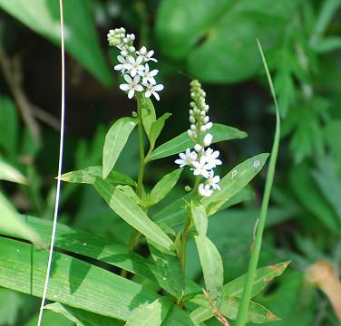 ヌマトラノオの白い花が