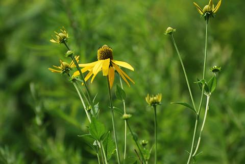 オオハンゴンソウの花は