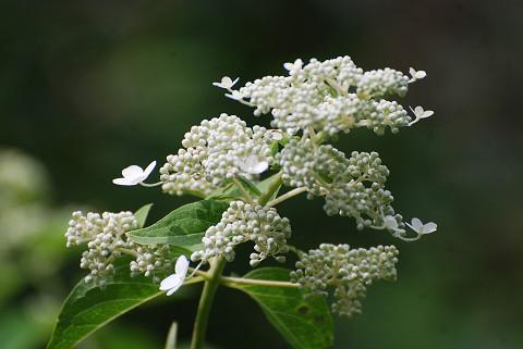 ノリウツギの花をアップ