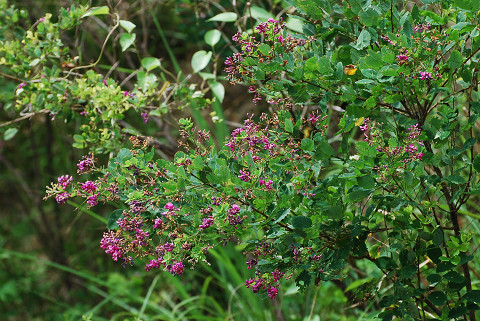 ヤマハギの花がきれい