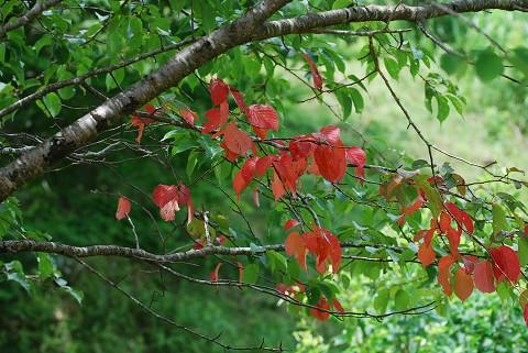 ヤマザクラの紅葉が