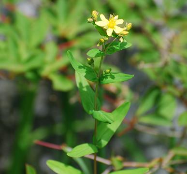 オトギリソウの黄色い花