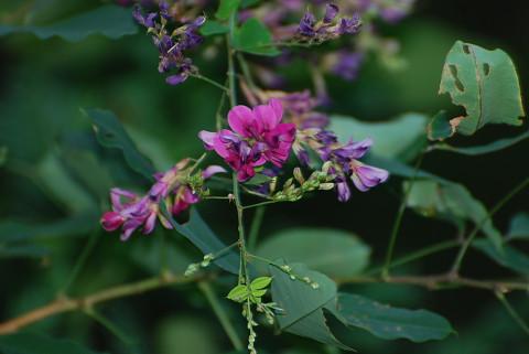 ヤマハギの花が美しい