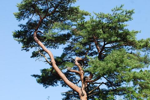 枝ぶりが見事なアカマツ