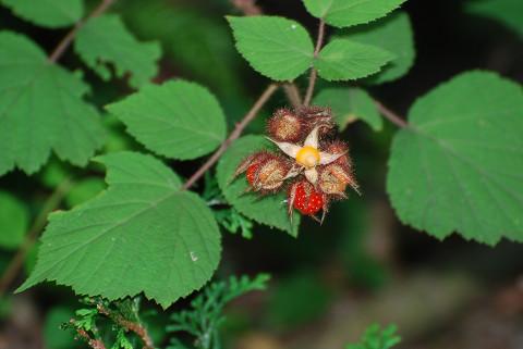 エビガライチゴに赤い実が