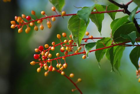 ウワミズザクラの実が美しい1