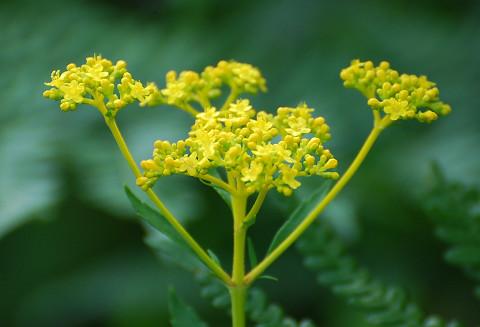 オミナエシの黄色い花が2