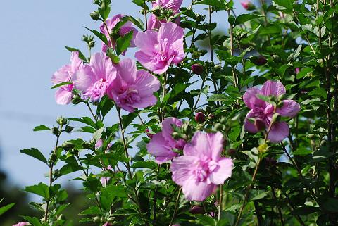 ピンクのムクゲの花が