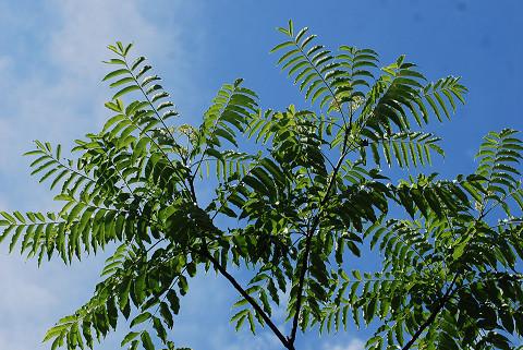 カラスザンショウの大きな葉