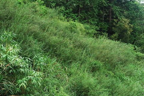 斜面全部がコマツナギ