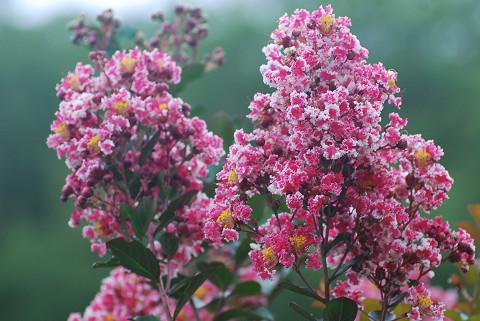 サルスベリの花が2