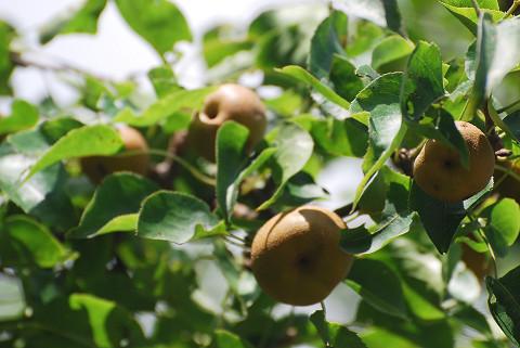 ヤマナシの実がいっぱい