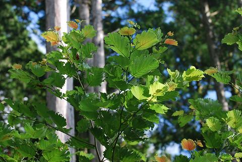 ケヤマハンノキの葉が