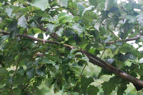 ケヤマハンノキの実と木肌