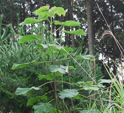 キリの幼木が