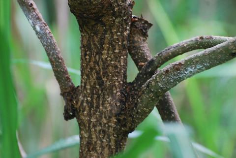 キリの根元の木肌