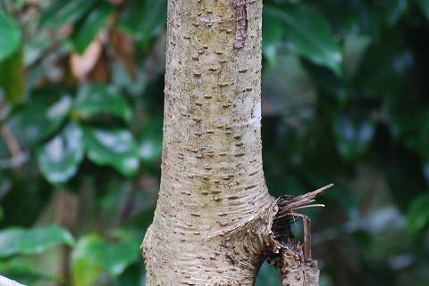 カナクギノキの木肌は