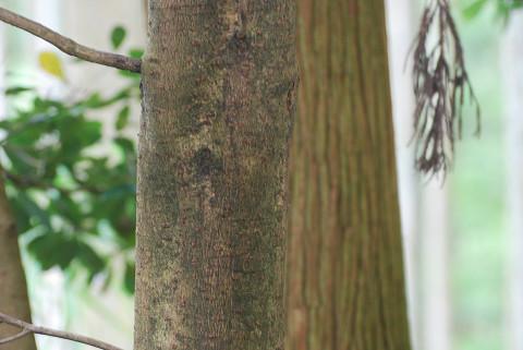 ツクバネガシの木肌か