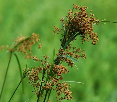 アブラガヤの穂がきれい
