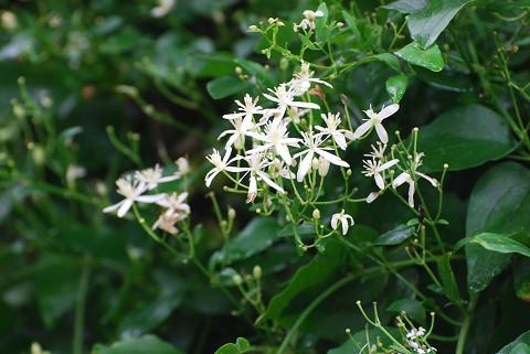 センニンソウの白い花が