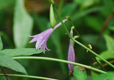 コバノギボウシの花が