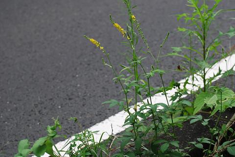 キンミズヒキの黄色い花