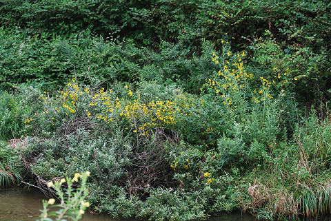 オオハンゴンソウが群生し