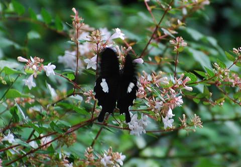 モンキチョウが花に2