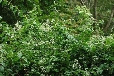 センニンソウ花がいっぱい