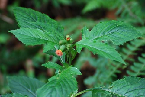 ベニバナボロギクの葉の特徴