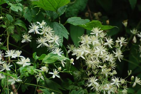 センニンソウの花は