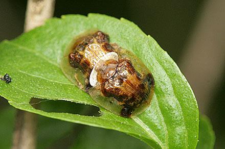 イチモンジカメノコハムシ