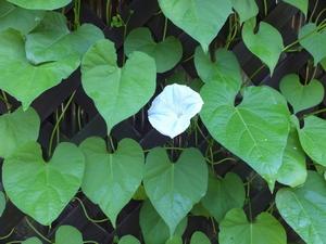 asagao-itirin1-web300.jpg