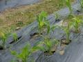 corn2-web300.jpg