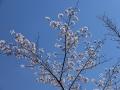 critter-sakura-mankai2-web300.jpg