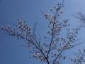 critter-sakura-sitibu1-web300.jpg