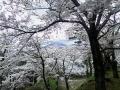 kamegajyosi-sakura4-web300.jpg