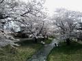 kannonjigawa-sakura1-web300.jpg