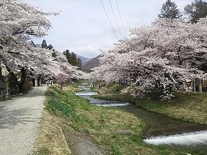 kannonjigawa-sakura5-web300.jpg