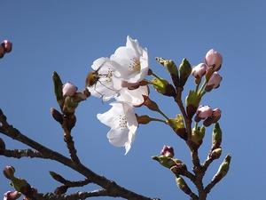 sakura-sakihajime1-web300.jpg